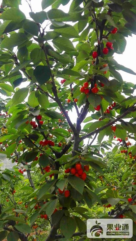 5-欧洲樱桃树-200.jpg