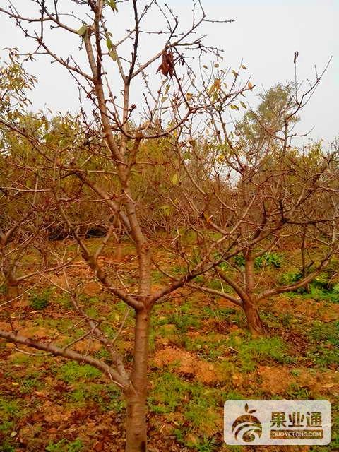 9-欧洲樱桃树-200.jpg
