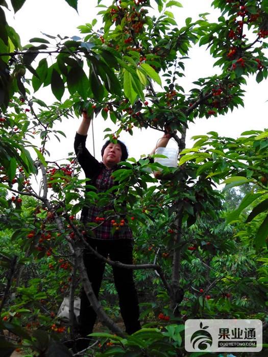 10-樱桃树-200.jpg