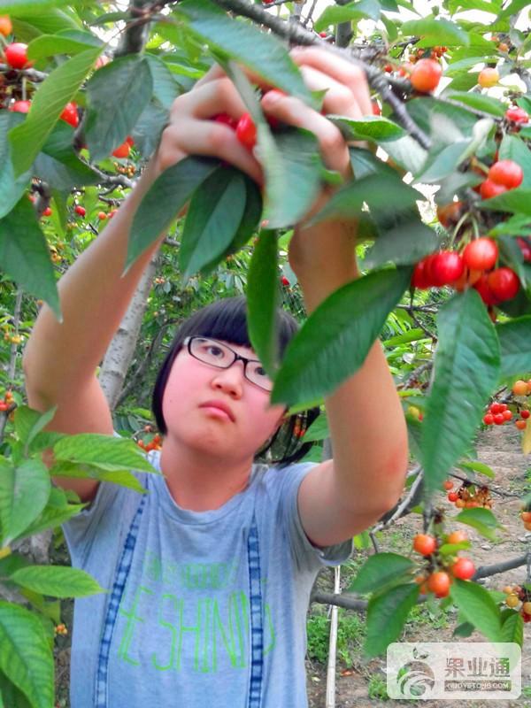 11-正在采摘樱桃-200.jpg