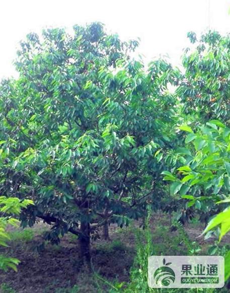 15-大樱桃树-200.jpg