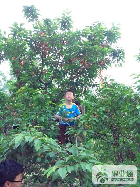 14-大樱桃树-200.jpg