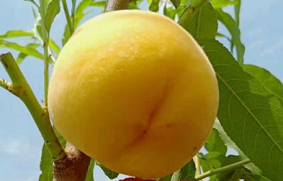 毛桃-黄桃3.png