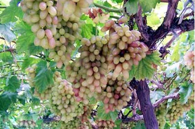 河南郑州:全国最大葡萄品种资源圃已经建成