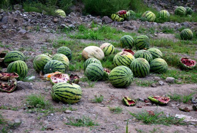 瓜农惜售,想等价钱高了再卖,不料西瓜烂在地里成垃圾?