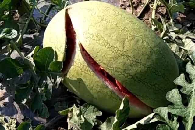 太可恨了!一夜时间13亩西瓜全被砍  瓜农损失极其严重!