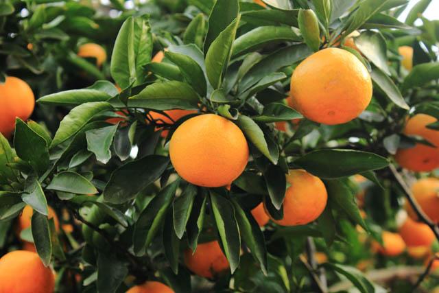湖南石门柑橘节10月10日开幕