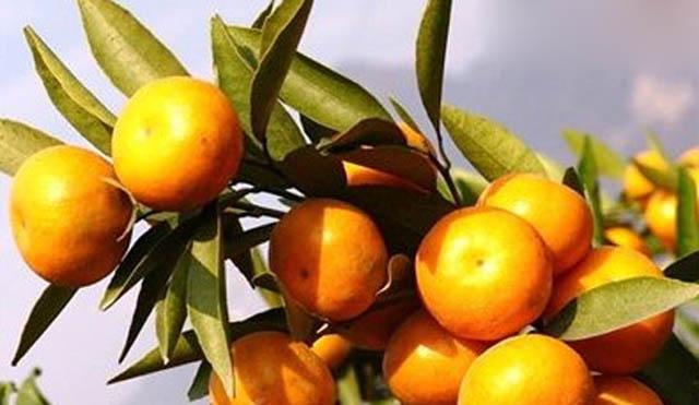 湖北枝江:柑橘高接换种工作全面开展