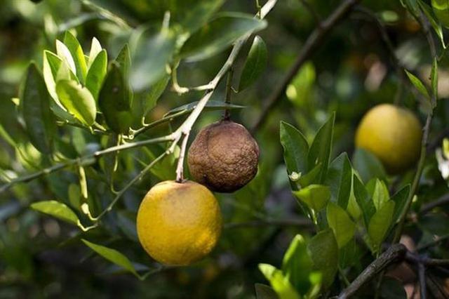 柑橘黄龙病防治在中国获得新突破