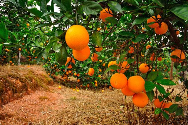 嘉兴水果市场十一月份行情分析:品种调整交易放缓 柑桔橙类正值旺销 ...