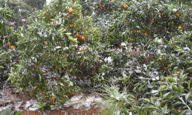 广西灌阳:霜冻天气致使晚熟柑橘受损严重