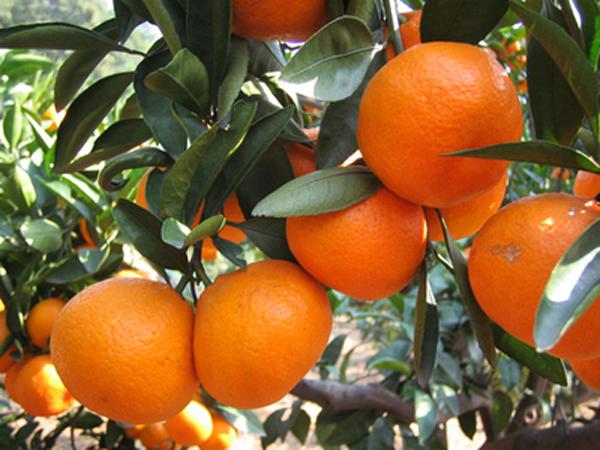 广西柑橘产业急需调整