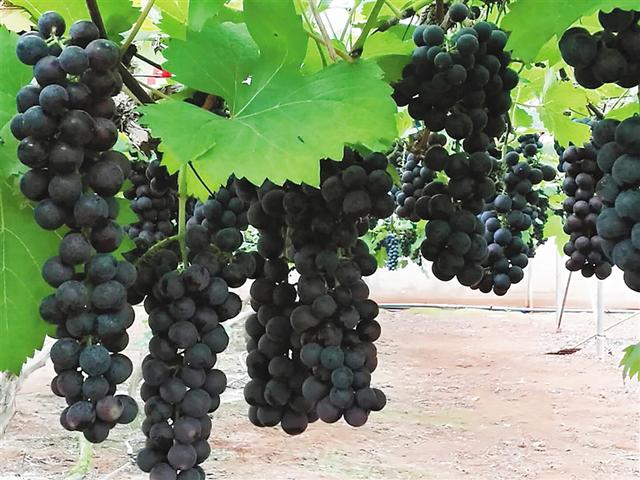 海南:热带葡萄实现商品化种植节热销