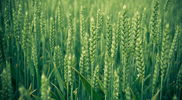 """技术""""加持""""助力小麦绿色发展"""