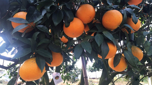 浙江宁波:红美人柑橘产业发展大会举行