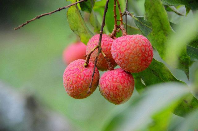 广州增城荔枝:或将迎来丰收季