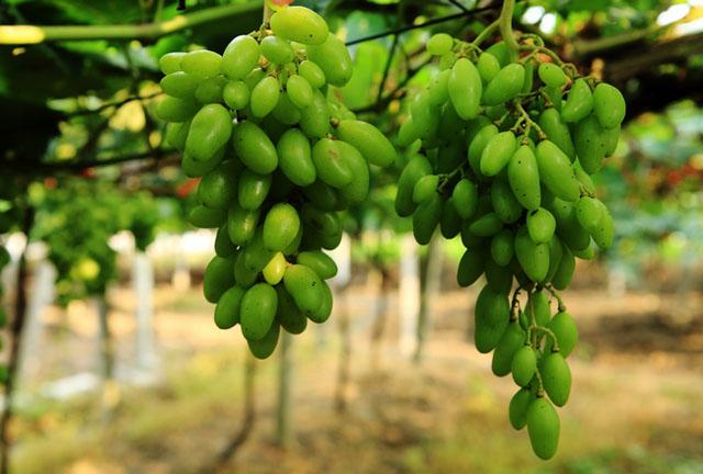 广西柳州:春季葡萄丰收在望