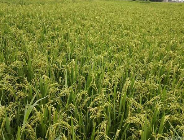 2018年早稻主要病虫害呈偏重发生态势