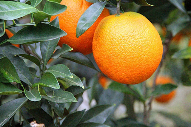 美国加州:脐橙产量上涨