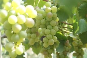 湖北建始:种植白玫瑰葡萄 年入数万