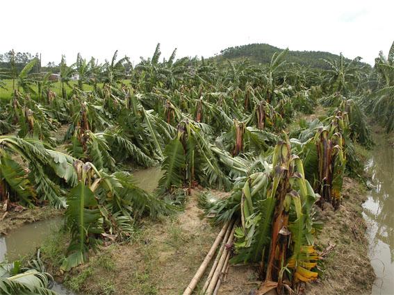 广东:山竹来袭 水果受损严重