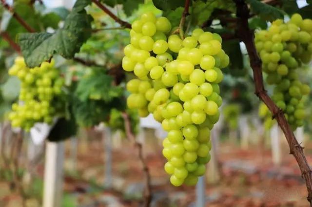 云南麒麟区:努力打造水果产业绿色品牌