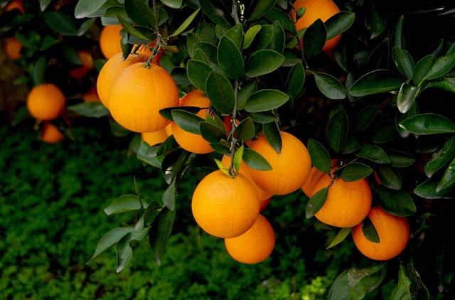 柑桔类水果产量继续增加