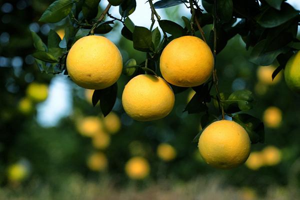 浙江衢州:常山胡柚帮助增收3亿元