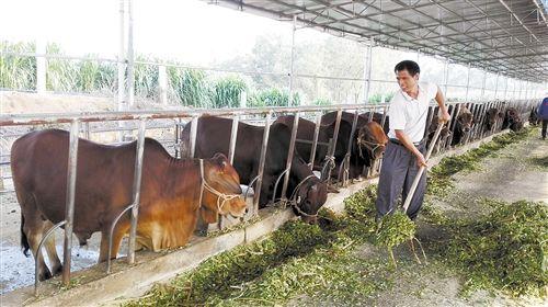 80后牛倌带富贫困户