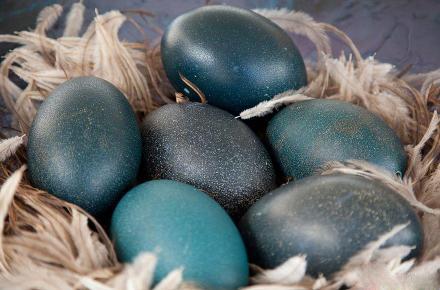 真是只好鸟!一颗蛋卖150元