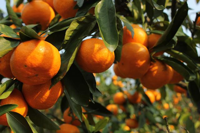 湖南麻阳:柑橘产业促进县域经济发展