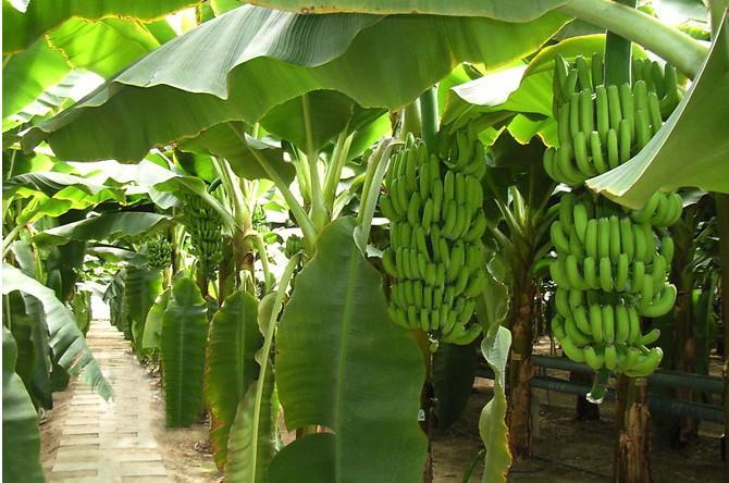 北京:菲律宾香蕉在京销售继续增加