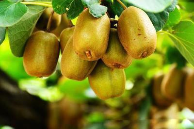 山东滕州:猕猴桃栽培试种获成功