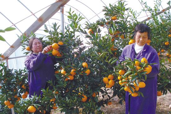 河南正阳:大棚柑橘喜获丰收