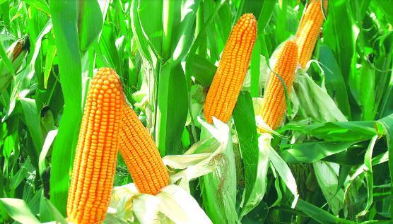农业农村部预测2019年玉米去库存有望进入尾声