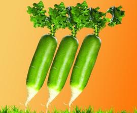 小萝卜孕育致富大产业