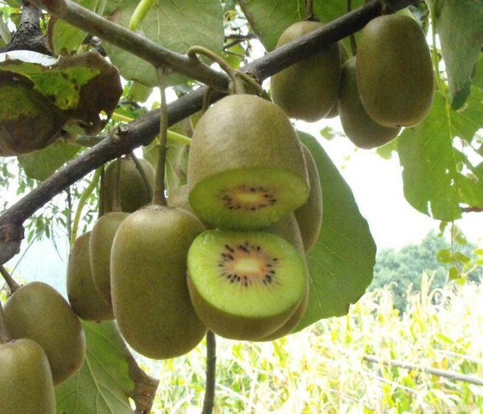 湖北武汉:大力推进猕猴桃产业发展
