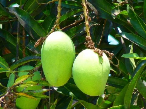 巴基斯坦计划向中国出口10万吨芒果