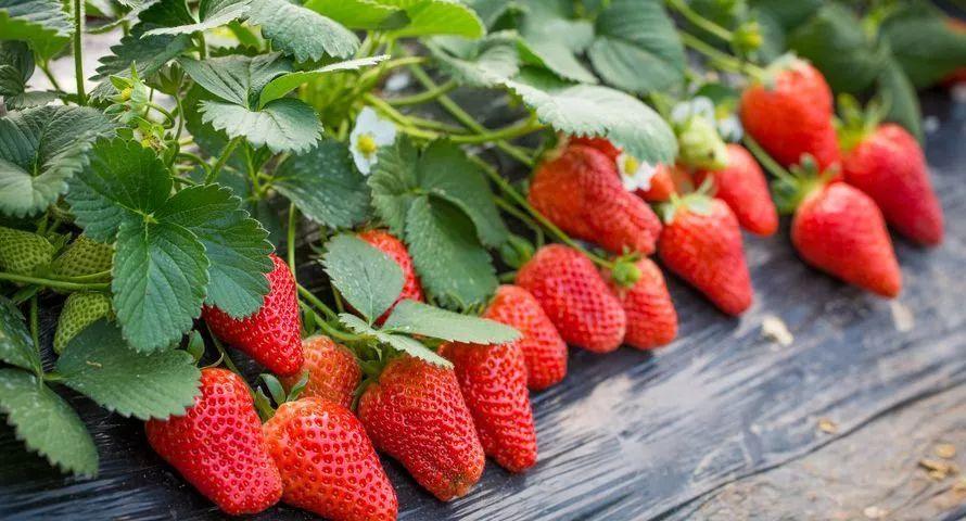 疫情之下,老于家的草莓很畅销