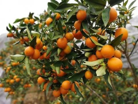 蜜脆金桔有望成为广西柑橘种植的新热点