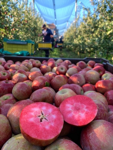 RedMoon红肉苹果渐入佳境 本产季预计收获3000吨
