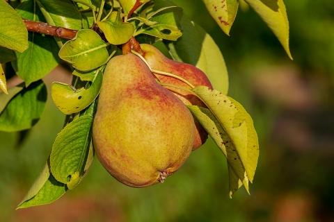 2020库尔勒香梨产量达50万吨,增产20%
