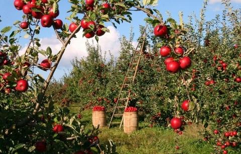 苹果入库量创5年新高,期货价创年内新低