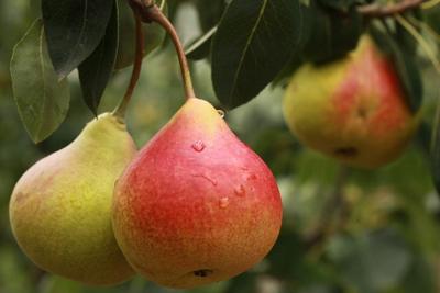 中国鲜梨出口增七成,国际市场占有达到30%