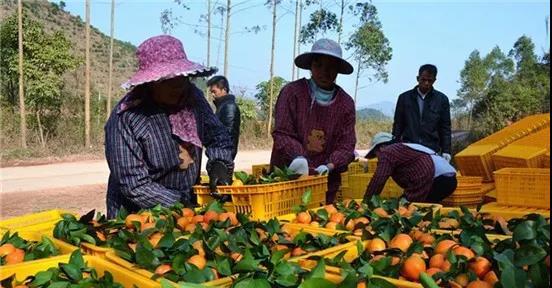 沙糖橘产业洗牌或已成定局,这三类人极有可能率先出局!