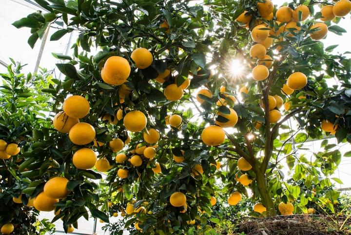 柚子界的黑马 爆汁葡萄柚口碑销量双走高