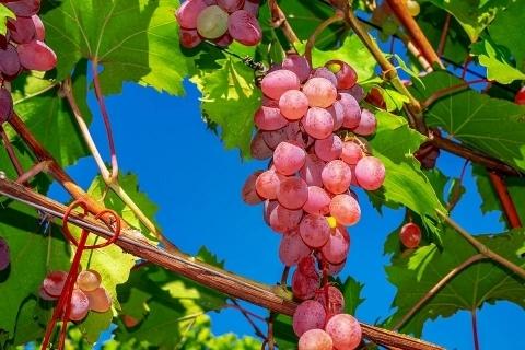 南非提子2020/2021产季最新评估,总产量预计超过27.7万吨