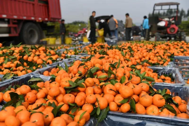 1.8元收购的沙糖橘,运到市场价格倒挂,高涨的行情还能维持多久? ...