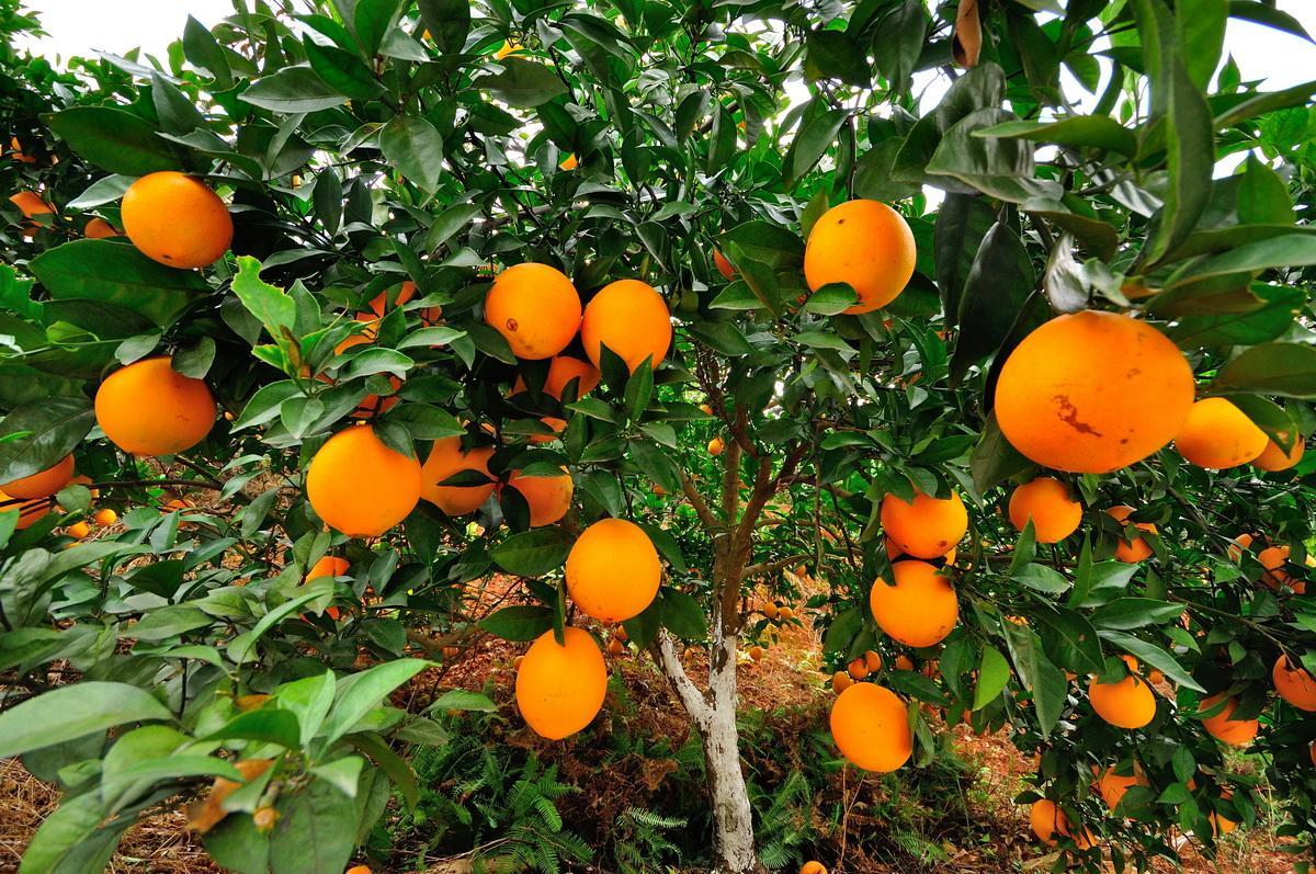 2020-2021产季中国鲜橙消费量预计突破730万吨