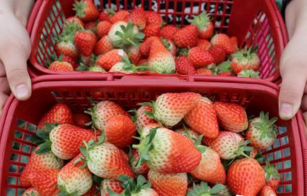 山东邹城:草莓成致富果
